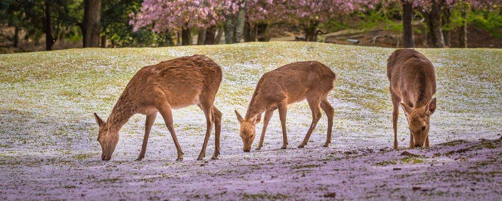 Nara-City-Guide