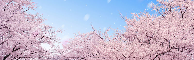 Top-Japan-Cherry-Blossoms